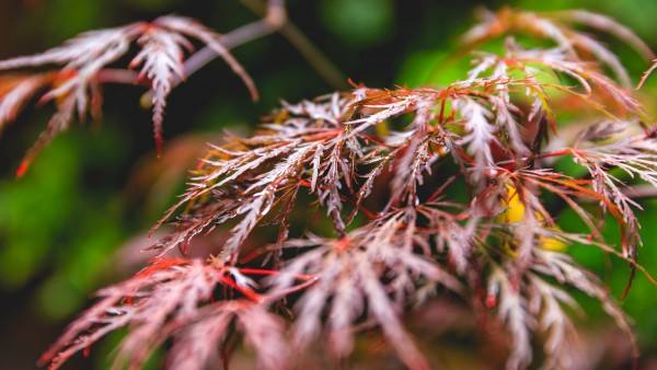 Acer Palmatum, var. dissectum