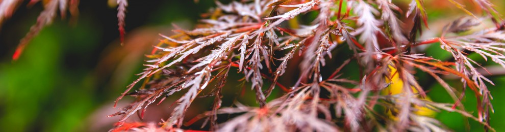 Japanese Maple Retina iMac Desktop Background